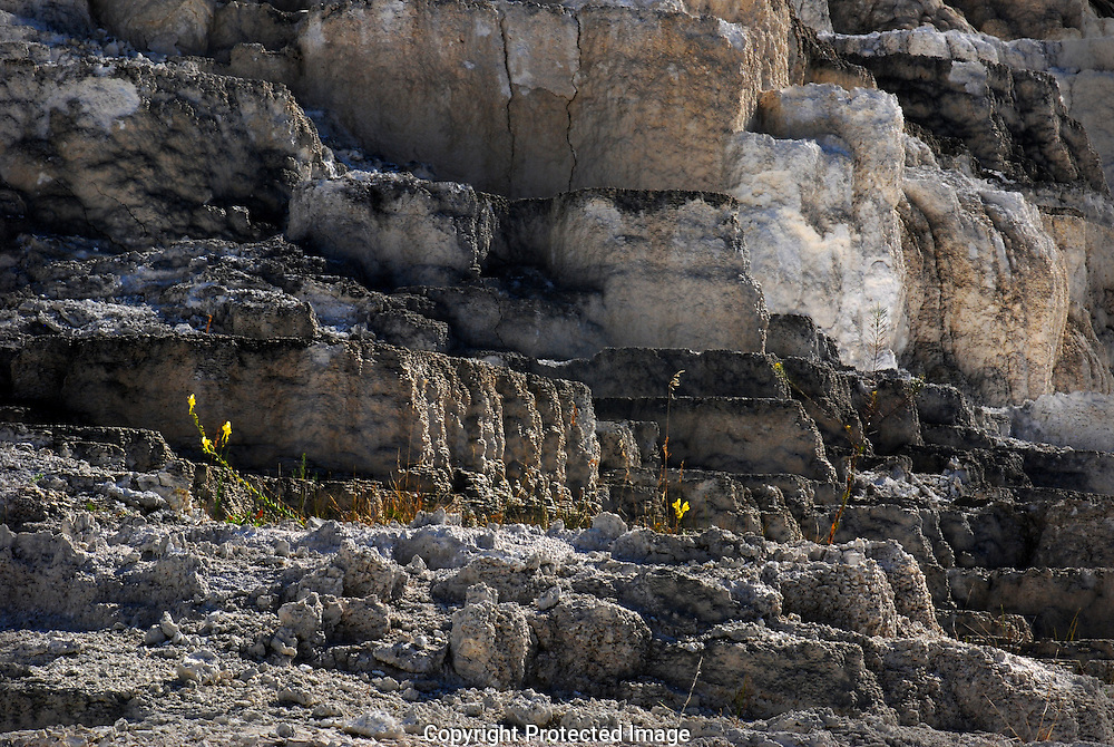 Yellow Monkey wildflowers grace the  travertine calcium carbonate limestone beds at Mammoth Hot Springs,  Yellowstone National Park, Wyoming.