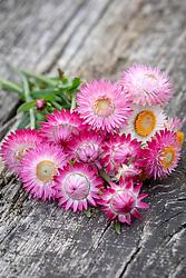 Bunch of Helichrysum bracteatum syn. Xerochrysum bracteatum 'Silvery Rose' - Strawflower, Everlasting Flower, Immortelle