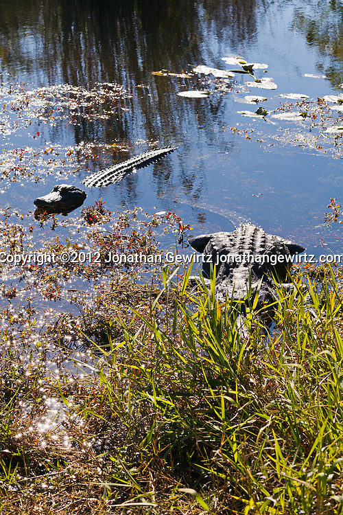 American alligators (Alligator mississippiensis) in a slough near the Anhinga Trail in Everglades National Park, Florida. WATERMARKS WILL NOT APPEAR ON PRINTS OR LICENSED IMAGES.