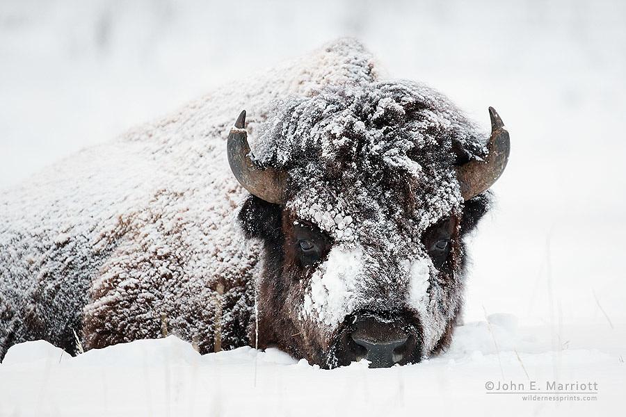 Bison, Yellowstone National Park, USA