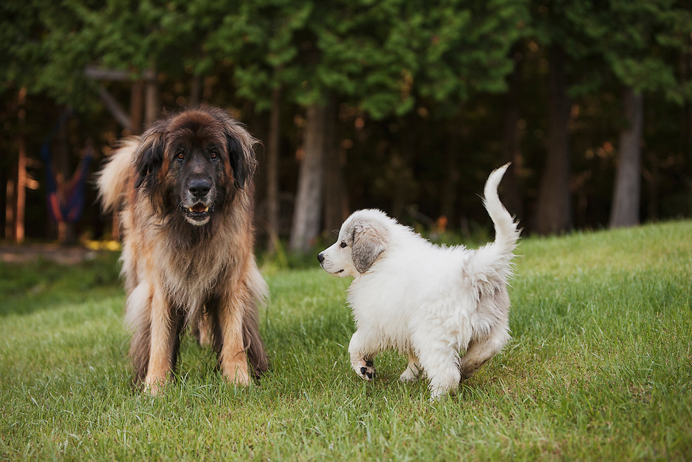 Elderly Leonberger smiles at the camera while a Great Pyreness puppy dances around.