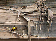 A yellowjacket (a yellow and black striped wasp) crawls on old wood siding with badly peeling paint. Dawson City, Yukon, Canada.