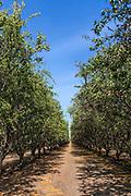 Almond Orchard, Tulare County, San Joaquin Valley, California, USA
