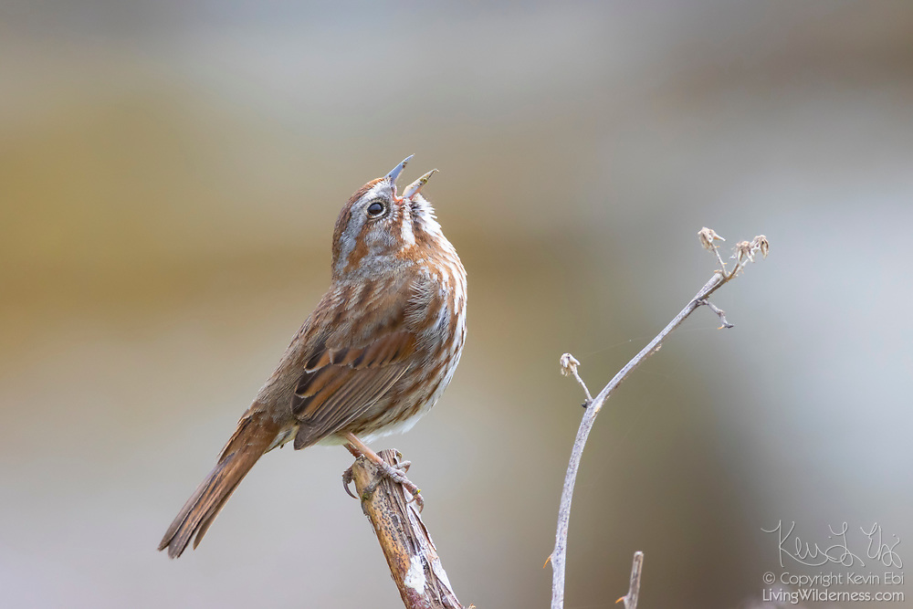 A song sparrow (Melospiza melodia) sings from its perch in a wetland near the Everett, Washington, waterfront. The song sparrow is the most widespread sparrow in North America.