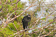 An American black vulture (Coragyps atratus) searches for food from a high perch in the Florida Everglades. American black vultures are found throughout the southeastern United States and are scavengers. They hunt purely by sight and will follow other vultures to food.