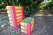 Israel, Negev, Lachish Region, Vineyard, boxes of picked grapes
