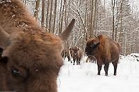 European bison (Bison bonasus) Bialowieza forest, Poland