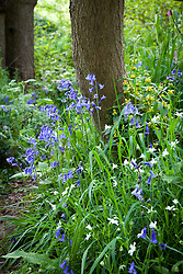 Bluebells in a wood near Sissinghurst with stitchwort and archangel. Hyacinthoides non-scripta