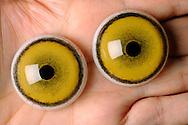 Glass eyes for a lion, preparation department of the Museum of Natural History Berlin..Glasaugen fuer einen Loewen, Praeparationsabteilung des Museums fuer Naturkunde Berlin