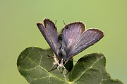 Long Tailed Blue Butterfly, Lampides boeticus, male, Controlled situation, UK, resting on leaf with wings partially opened