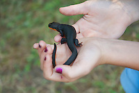 A 10-year-old girl holds a rough-skinned newt, Taricha granulosa, in Mendocino County, California