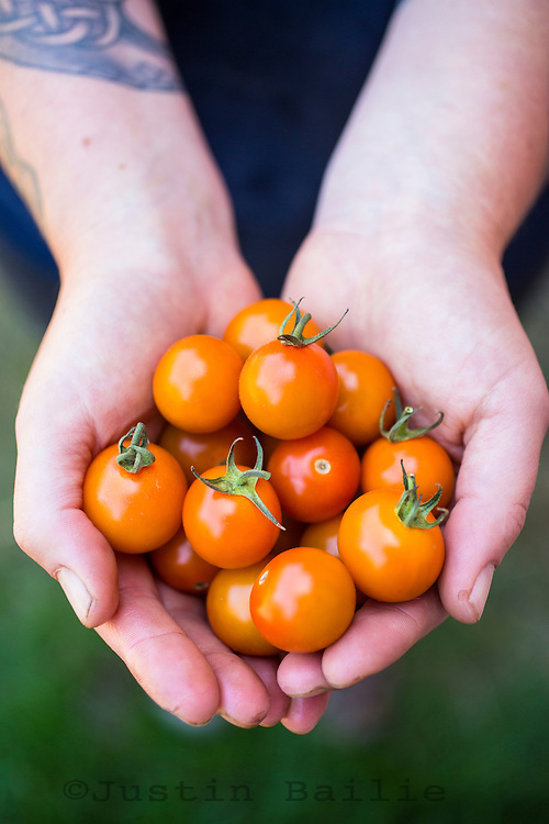 Farmers hands holding tomatoes.