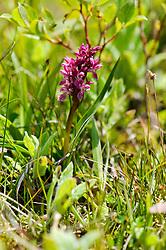 Bloedrode vleeskleurige orchis. ssp coccinea
