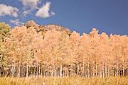 Yellow, orange & gold aspens brighten the fall scene in the Cimarron Range in Colorado in Autumn.