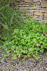 Herb Robert growing at the base of a dry stone wall. Geranium robertianum