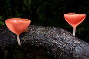 Cup Fungi (Pezizaceae)<br /> Yasuni National Park, Amazon Rainforest<br /> ECUADOR. South America