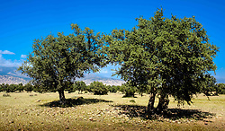 Argan trees with the Atlas Mountains in the background, Morocco, North Africa<br /> <br /> (c) Andrew Wilson | Edinburgh Elite media