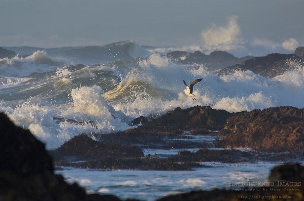 Seagull and ocean waves and angry surf along coastal roacks at Pescadero State Beach, San Mateo County coast, California