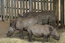 February 15, 2016 - Kwazulu-Natal Provinz, South Africa - Rhinos recuperate in the rhinoceros orphanage in the Hluhluwe-Imfolozi Park located in KwaZulu-Natal province, South Africa, 15 February 2016. Photo: STUARTGRAHAM/dpa (Credit Image: © Stuart Graham/DPA via ZUMA Press)
