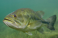 Largemouth Bass<br /> <br /> Engbretson Underwater Photography