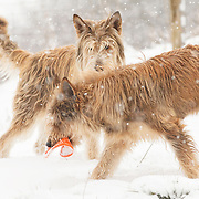 Two Berger Picard dogs playing in the snow