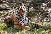A close up of the face of an endangered Bengal tiger (Panthera tigris tigris) in the wild, Ranthambhore National Park, Rajasthan, India,