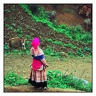 Hmong woman watching over a herd of cows near Can Cau market, Bac Ha area, Vietnam, Southeast Asia