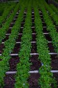 Itabirito_MG, Brasil...Horta hidroponica. Na foto, producao de alfaces...hydroponic garden. In this photo, the lettuce production...Foto: LEO DRUMOND / NITRO