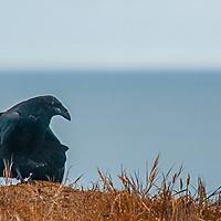 A raven (Corvus corax) walks atop a cliff above the Pacific Ocean near Moss  Beach, California.