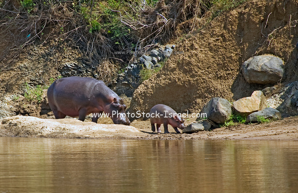 A pod of Hippopotamuses (hippopotamus amphibius) in a waterhole. Although these animals are gregarious and often live in big groups, they are not very social animals and often fight amongst each other. Photographed Mara River, Kenya