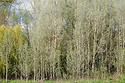 Copse of White Poplar trees, also known as Silver Poplar or Silverleaf Poplar, Populus alba, in Eastleach Turville in the Cotswolds, UK