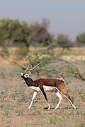 Blackbuck male antelope, Antilope cervicapra, near Rohet in Rajasthan, North West India