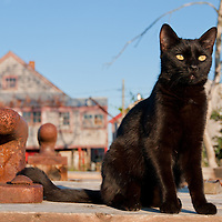 A black cat in Seal Cove on Grand Manan Island, off the Coast of New Brunswick, Canada. Photo by William Drumm.