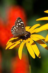 Speckled wood butterfly on Rudbeckia fulgida var. deamii