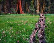 Crescent Meadow with shooting stars, Dodecatheon sp., and fallen giant sequoia, Sequoiadendron giganteum, Giant Forest, Sequoia National Park, California.