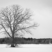 Bare tree on snow-covered farm, Newbury, Massachusetts.