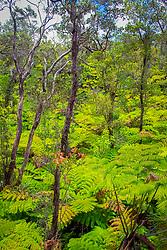 fern and `ohi`a rainforest, Hawaii, USA Volcanoes National Park, Kilauea, Big Island, Hawaii, USA