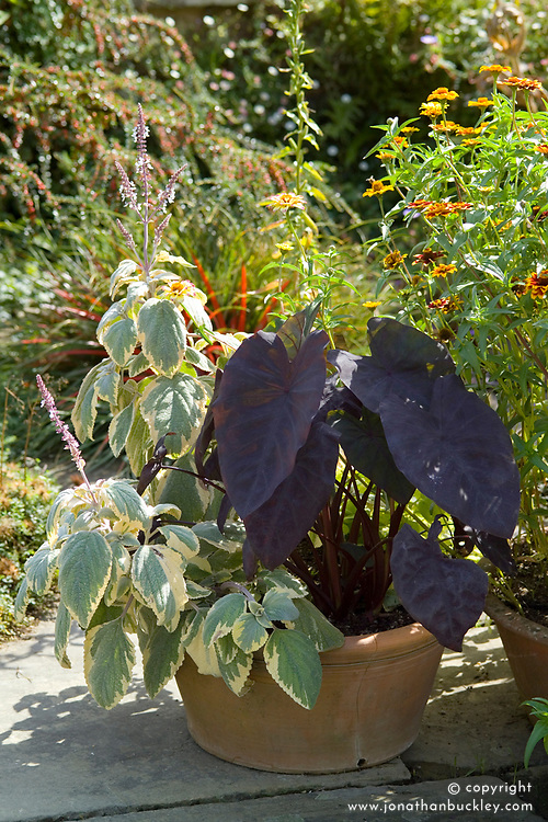 Colocasia 'Black Magic', Elephant's Ear, Taro plant, growing in a terracotta pot at Great Dixter in autumn with a cream and green variegated plectranthus