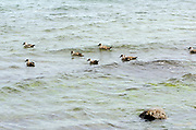 Ducks in the sea .Puerto Natales, Republic of Chile. 17Feb13
