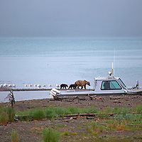 USA, Alaska, Katmai. Grizzly sow and cubs by boat.