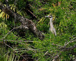 Yellow Crowned Night Heron sits in a tree on the Silver River in Ocala Florida.