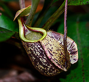 Piitcher of the pitcher plant Nepenthes rafflesiana from Sepilok, Sabah, Borneo.