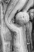 Knob on Ancient Bristlecone Pine, White Mountains, Inyo National Forest, California