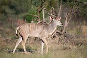 Greater kudu bull walking