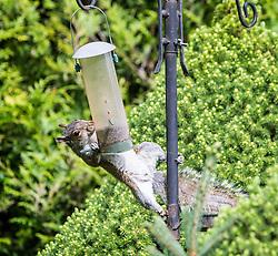 Squirell in my garden, 29/7/2015.