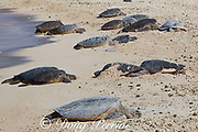 Hawaiian green sea turtles or honu, Chelonia mydas ( Threatened Species ), basking on beach, Turtle Beach, Sand Island, Midway Atoll National Wildlife Refuge, Papahanaumokuakea Marine National Monument, Northwest Hawaiian Islands, USA, Central Pacific Ocean