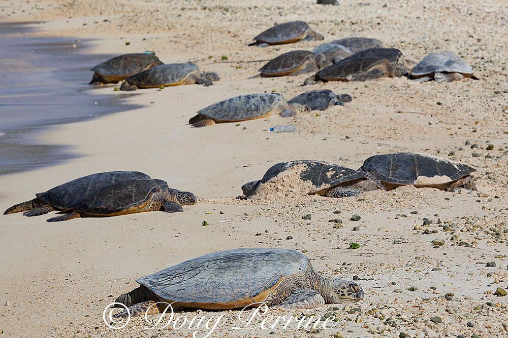 Hawaiian green sea turtles or honu, Chelonia mydas ( Threatened Species ), basking on beach, Turtle Beach, Sand Island, Midway Atoll National Wildlife Refuge, Papahanaumokuakea Marine National Monument, Northwest Hawaiian Islands, USA, Central Pacific Ocean