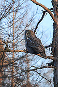 Great Gray owl perched in boreal habitat