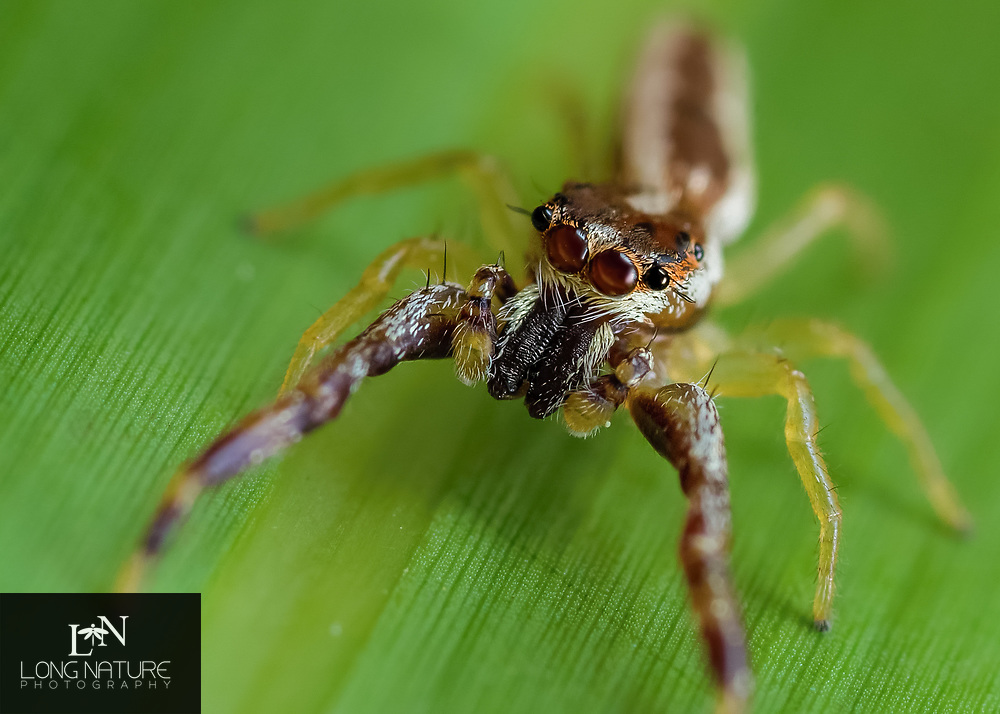 Hentzia grenadad jumping spider.  Photographed in Charles H. Bronson State Forest, Fl USA