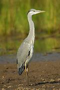 Grey heron, Ardea cinerea, Limpopo, South Africa